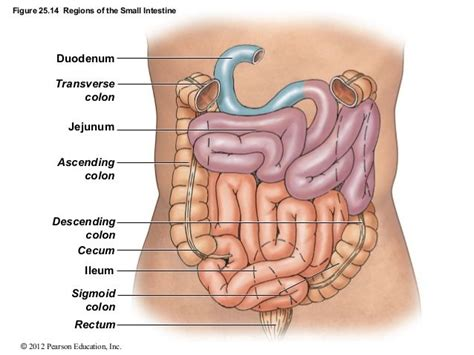 colon sections anatomy organ pictures best collection small intestine