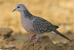 spotted dove species information and photos