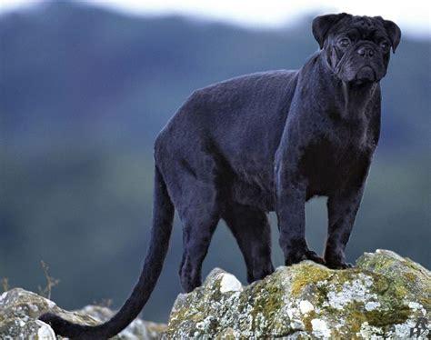 buy black pug black pug by dwarf4r on deviantart