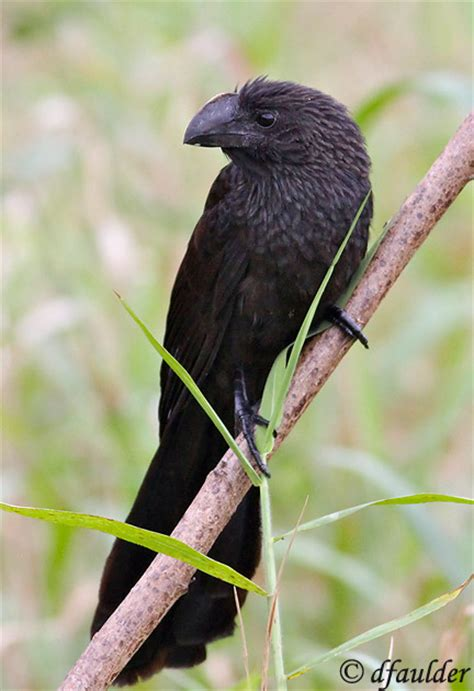 smooth billed ani species information and photos