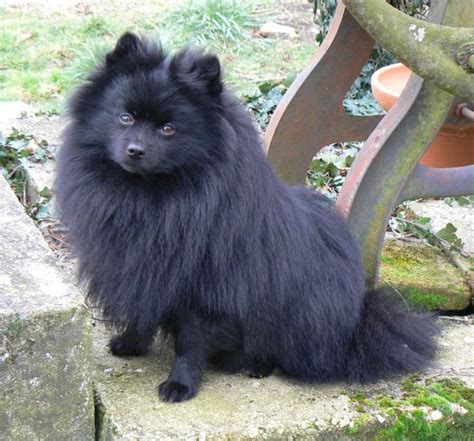 pomeranian x german spitz 25 best images about german spitz on what does bum what does