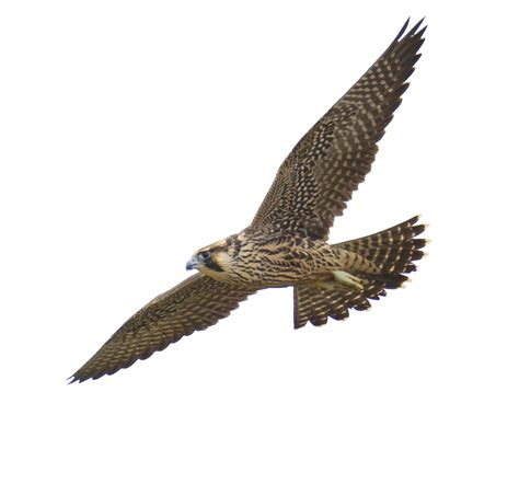 images of a falcon falcon png images free