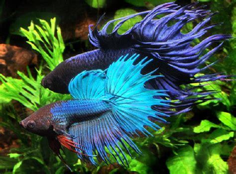 Pakan Ikan Cupang Yang Baru Lahir 5 hewan ini diadu hanya untuk kesenangan manusia