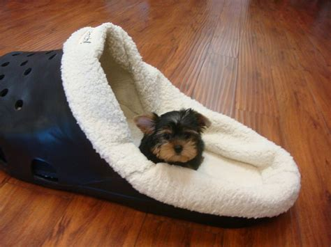 yorkie poo puppies knoxville tn tiny yorkie breeds picture