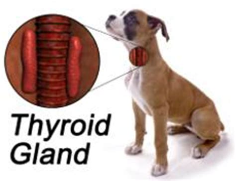 thyroid cancer in dogs thyroid problems in dogs canine hypothyroidism