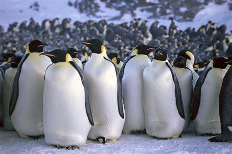 Penguin S emperor penguin facts