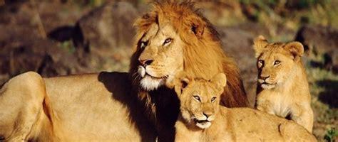 imagenes leones selva leones datos y curiosidades del poderoso rey de la selva