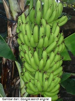 budidaya tanaman buah pisang pertanian
