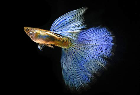 Pakan Ikan Cupang Yang Mahal cara budidaya beternak ikan guppy djoglo fish