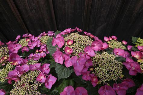 hortensien pflanzen 187 wann wohin und wie - Pflanzen Hortensien