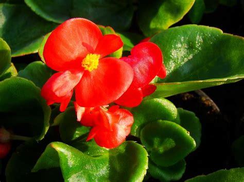 fiore begonia begonietta semprefiorita begonia semperflorens