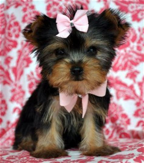 teddy yorkies for sale dogs for sale yorkies 2xl at putting smiles on my faces who doesn t a