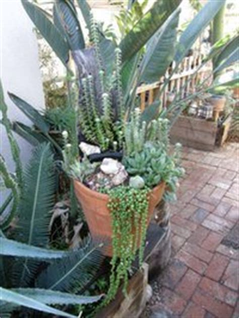 draping plants for pots trailing succulents for pots some ideas dave s garden