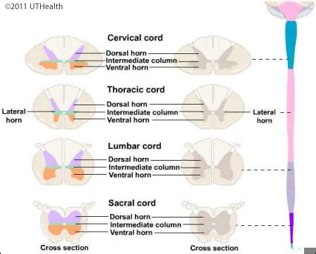 cross section of spinal cord at different levels neuroanatomy online lab 4 external and internal anatomy