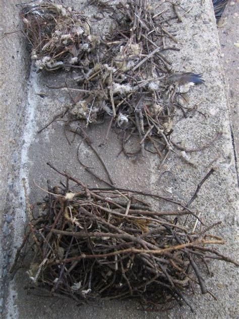 a dc birding blog last summer s house wren nests