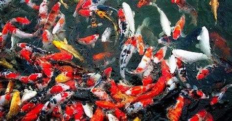 Bibit Ikan Koi Di Aquarium galeri ikan hias dan aquarium budidaya ikan koi