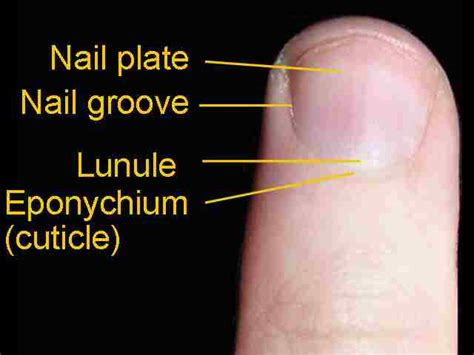nail bed definition eponychium definition location function and pictures