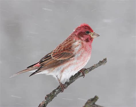purple finch male photograph by bob schlake