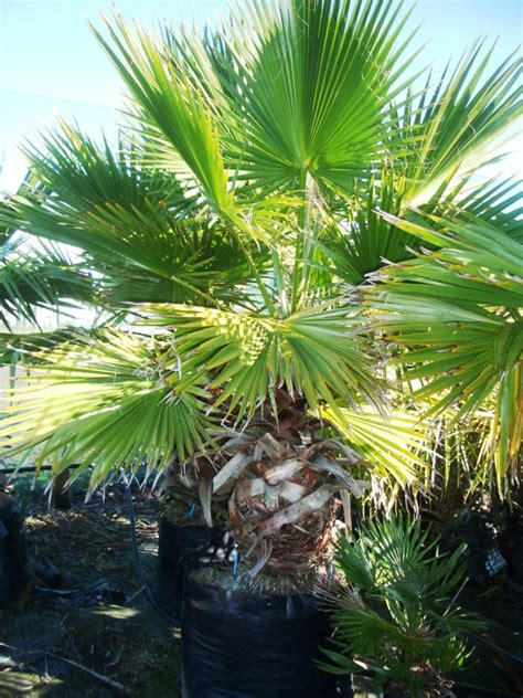 washingtonia robusta bacchus palms