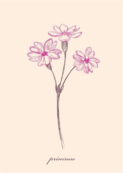wild flowers illustration project primrose by jung soo