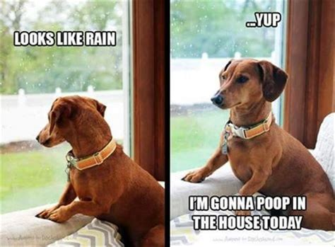 Weiner Dog Meme - 12 best dachshund memes of all time