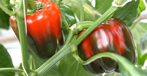 bell pepper  beginners guide  growing bell peppers