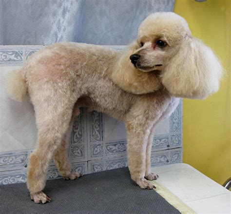 hair short poodle bonde hair cuts grooming your furry friend does a poodle have to be