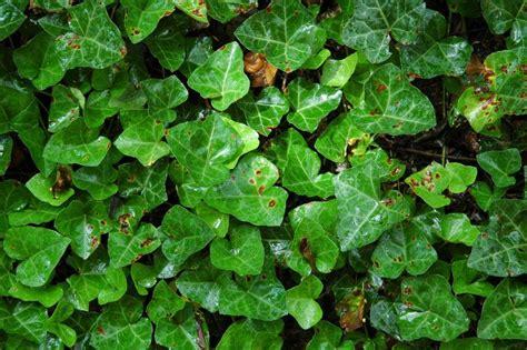 english ivy ivy englishdirt doctor howard garrett organic gardening