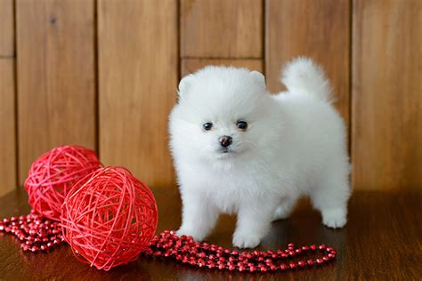 about pomeranian puppies pomeranian puppies dogtime