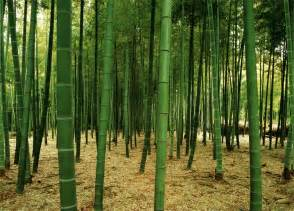 what is a wall mural bamboo forest wall mural