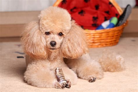 mini poodle info miniature poodle dogs breed information omlet