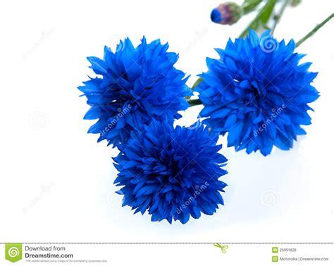 Id 82 Blue Flower błękitny chabrowy kwiat zdjęcie stock obraz złożonej z