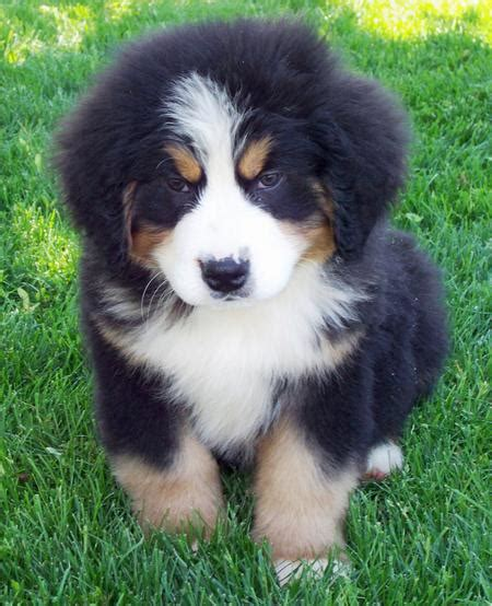 bernese puppy bernese mountain info temperament puppies pictures