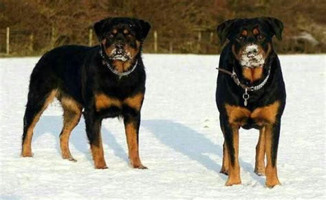 rottweiler in snow rottweiler s in the snow rottweillers