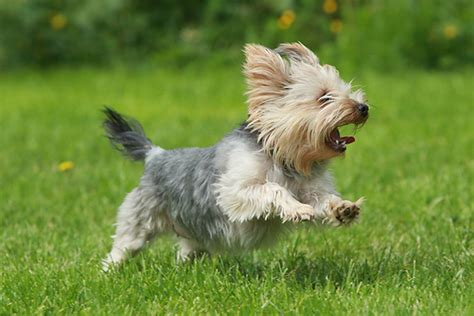 yorkie running pictures of yorkie dogs and puppies pets world