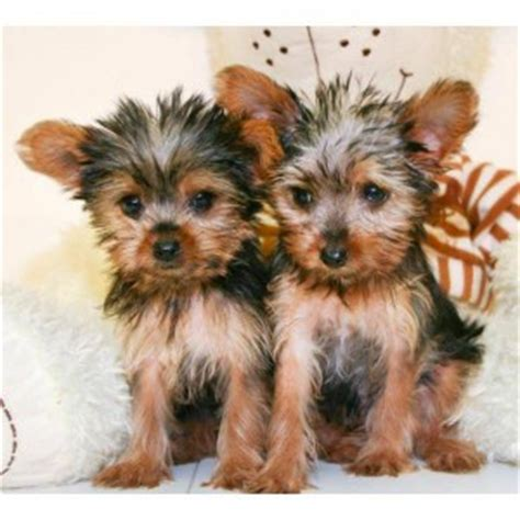 teacup yorkies for adoption in louisiana pets la free classified ads