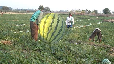 world s the world s largest watermelon