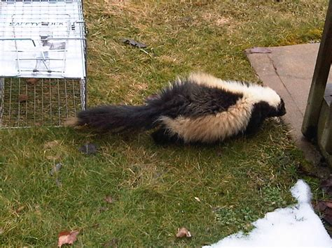 Garden State Wildlife New Jersey Skunk Trapping And Removal