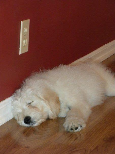 white goldendoodle puppy white goldendoodle puppy puppies