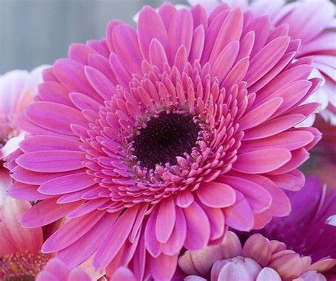 gerber headl the enchanted petal gerbera