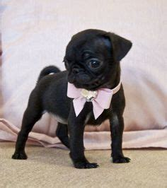 teacup pug black doggies 3 on pugs black pug and black lab puppies