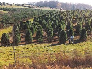 best christmas tree farms around baltimore 171 cbs baltimore