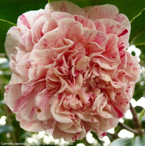 camellia inflorescence types gardening tips and advice oak leaf gardening