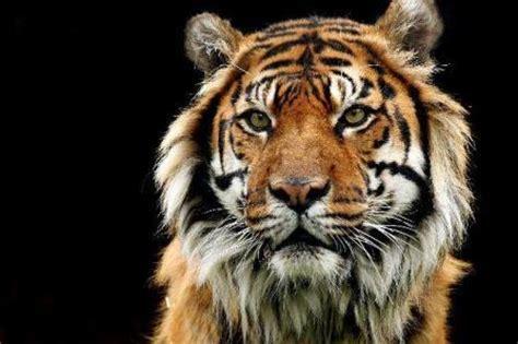 imagenes de tigres y leones juntos fotos de tigres 187 tigrepedia