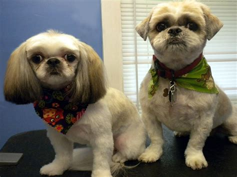 shih tzu age problems shih tzu skin problem 1001doggy