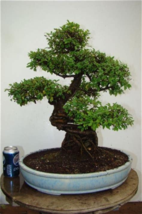 tropical bonsai trees indoor bonsai