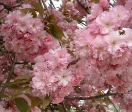 Patio Cherry Tree Ornamental Trees