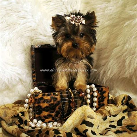 teacup yorkies for sale in ohio 200 200 best images about teacup dogs on yorkie puppies for sale yorkie for