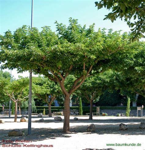 fruitless y platanenbl 228 ttriger maulbeerbaum morus alba f macrophylla