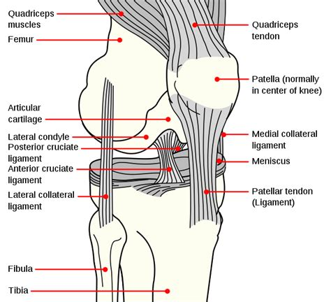 knee diagram musclephysiology